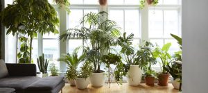 indoor plants for purifying the air